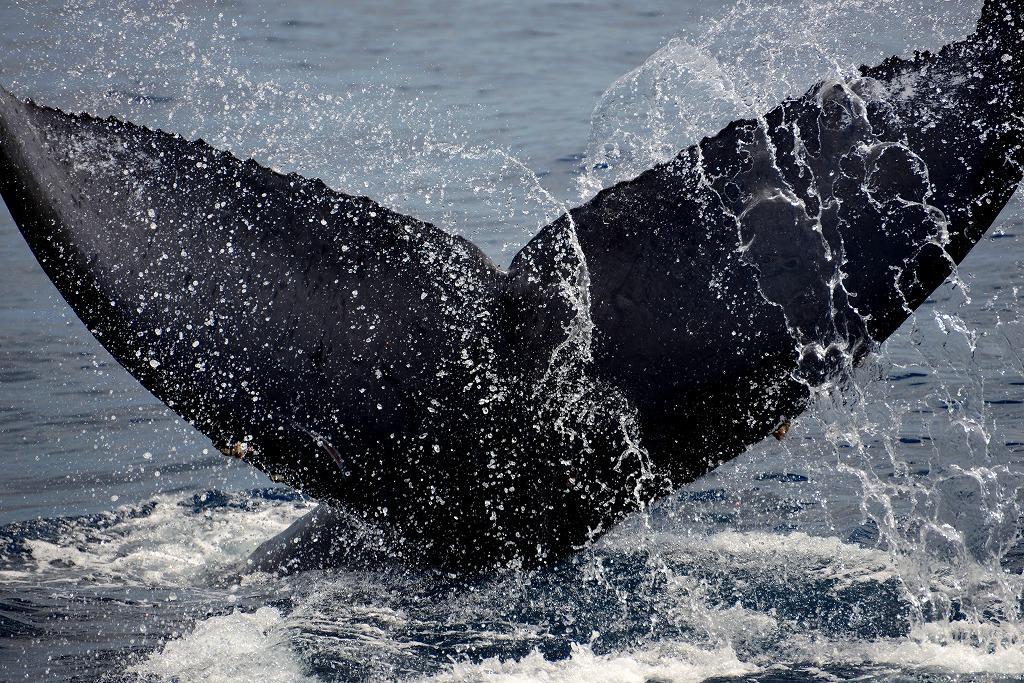 「Tail Slap」(奄美大島近海クジラ調査船にて撮影:4月)
