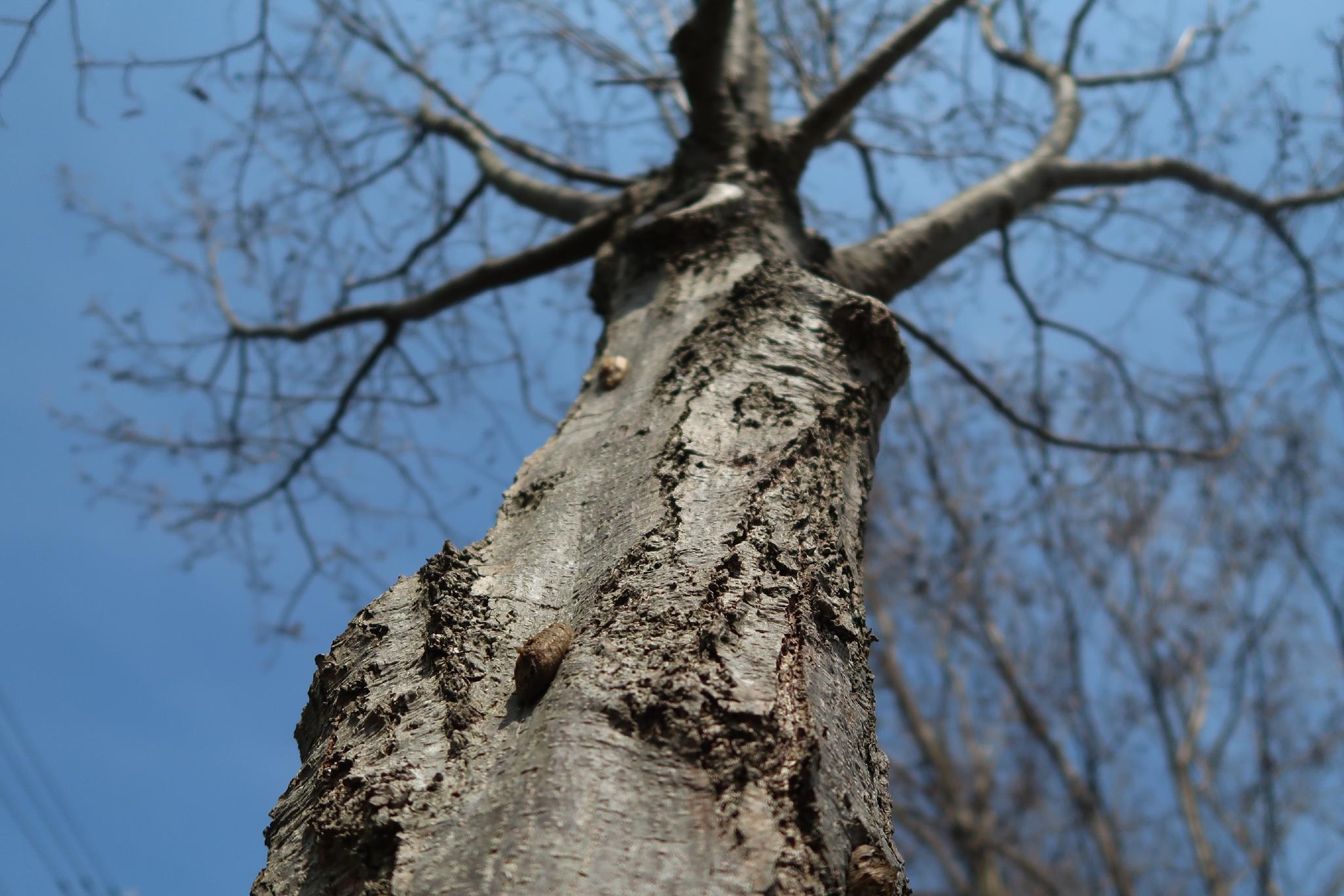 木の幹の産み付けられたハラビロカマキリの卵鞘