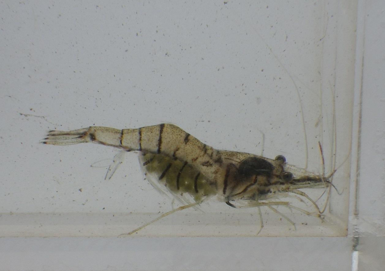 外来性スジエビ近似種Palaemonetes sinensis