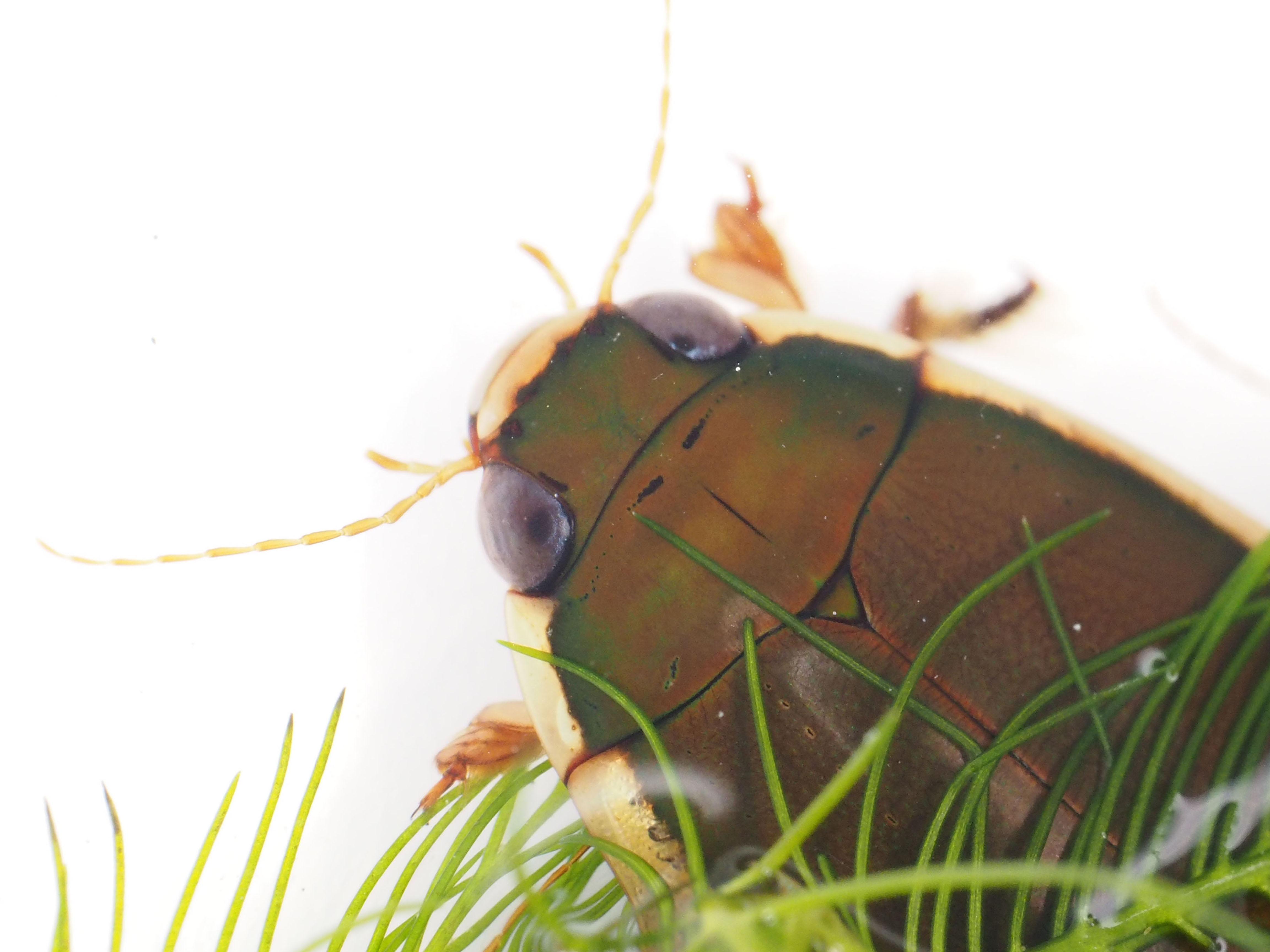 コガタノゲンゴロウ頭部