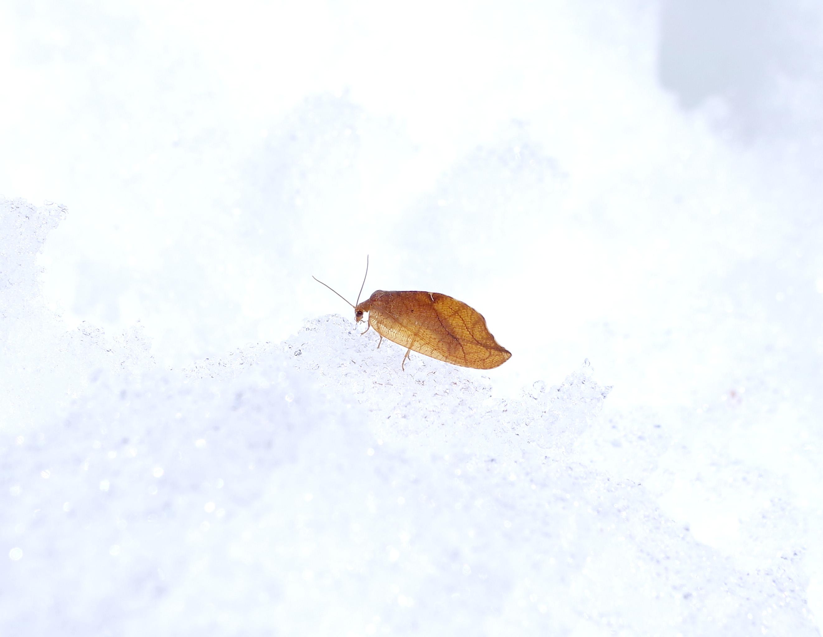 エグリヒメカゲロウ