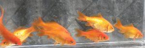 都内の河川で採集された金魚