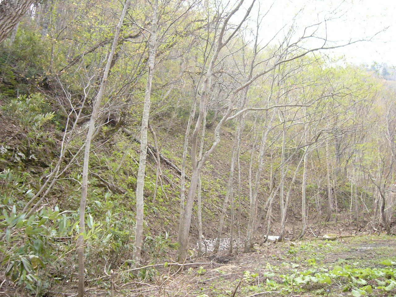 山の樹林は5月になるとようやく芽吹きです。(2008年5月撮影)