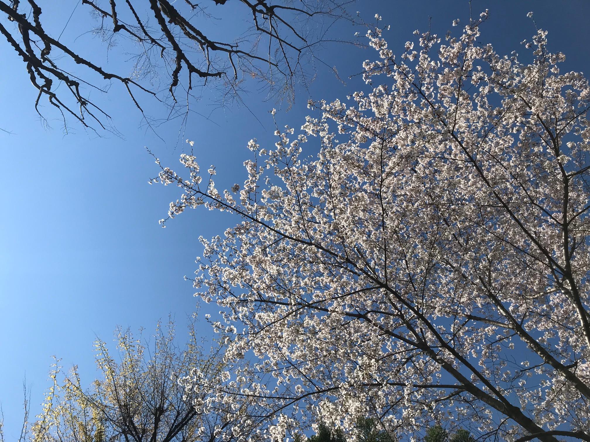 神楽坂毘沙門天の桜