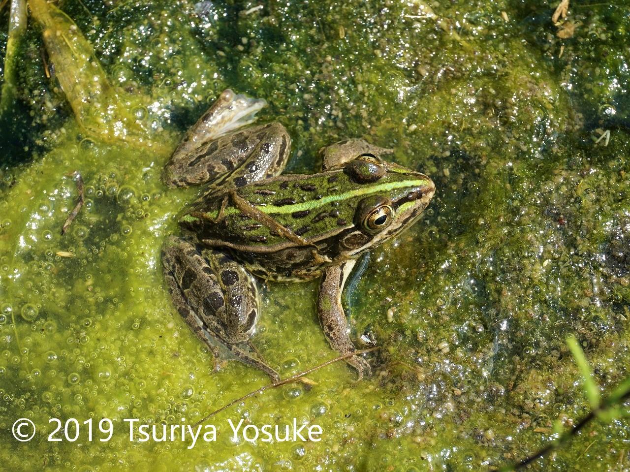 トノサマガエル(長野県)